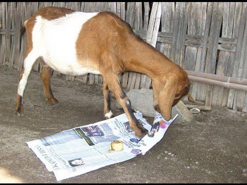 foto kambing makan kertas di pulau bungin