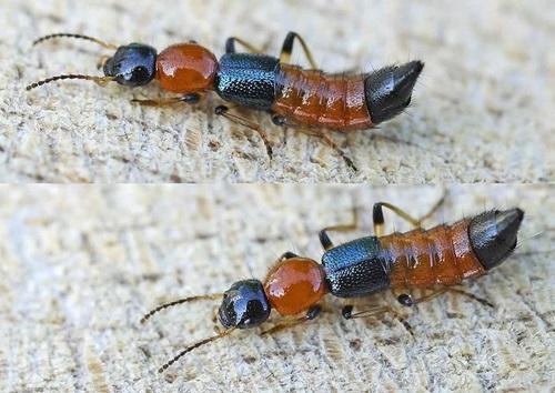 Cara Menghalau Dan Membunuh Semut Charlie, cara membunuh serangga Charlie, cara menghalau semut Charlie, cara menghapuskan semut Charlie, cara membasmi tomcat, cara matikan serangga Charlie, cara halau charlie