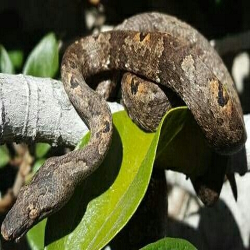https://curiosidadeanimal.bioorbis.org/2019/07/serpente-boa-do-pacifico.html