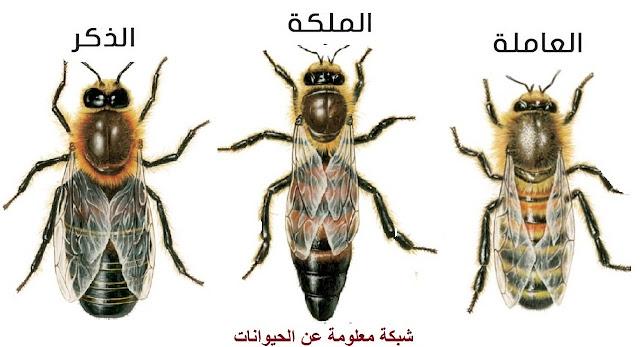 النحل,تربية النحل,عسل,انواع النحل,العسل,نحل,أنواع,عالم النحل,ملكة النحل,سلالات النحل,ملكات النحل,خلية النحل,نوعية العسل,خلية نحل,نحل العسل,أنواع النحل,تربية النحل للمبتدئين,انواع العسل,ما هي انواع النحل,فوائد النحل,القاتل,المملكة,نحل قاتل,النحل الافريقي,العسل الاسود,العسل الابيض,ذئب النحل