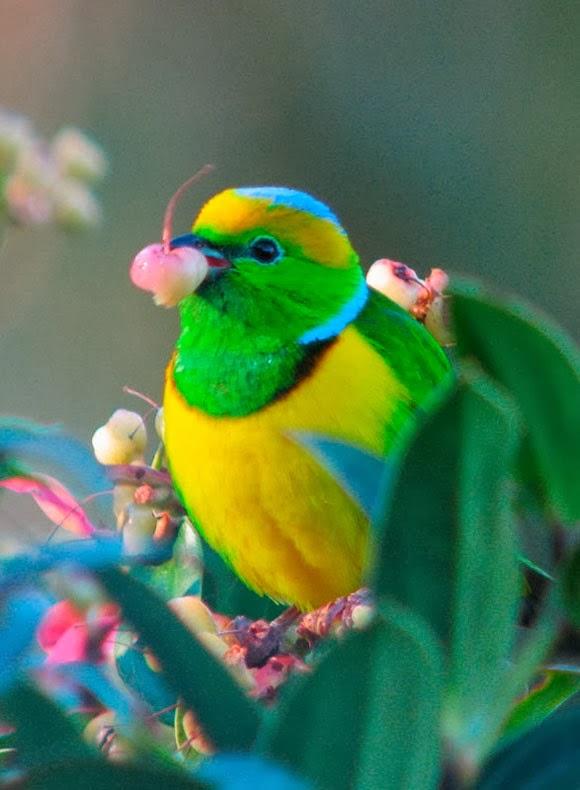 Azulestrellla  Imgenes de bellas y exticas aves