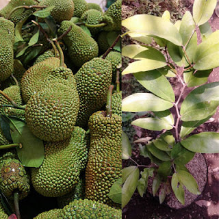 jual-bibit-cempedak-durian.jpg