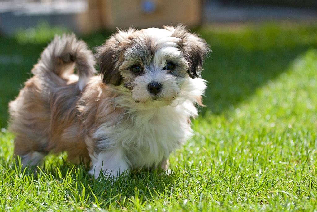 30 Cutest Pictures of Havanese Puppies  Best Photography, Art, Landscapes and Animal Photography