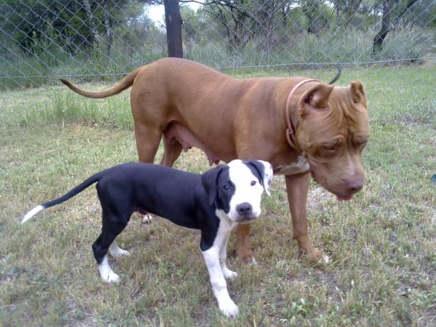 All About Animal Wildlife: American Pitbull Dog ...
