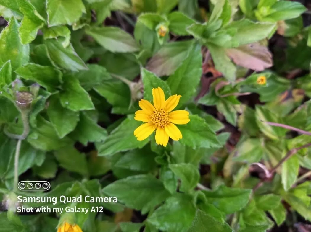 Samsung Galaxy A12 Camera Sample - Flower, Normal