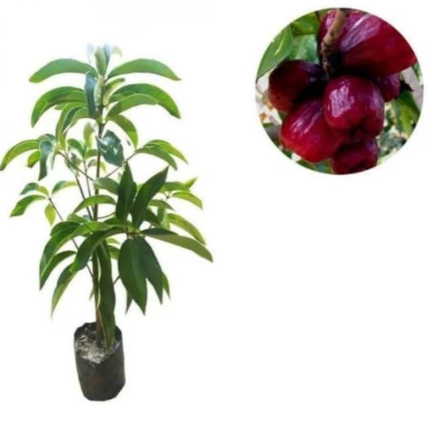 Bibit tanaman jambu jamaika jumbo atau jambu bol Metro