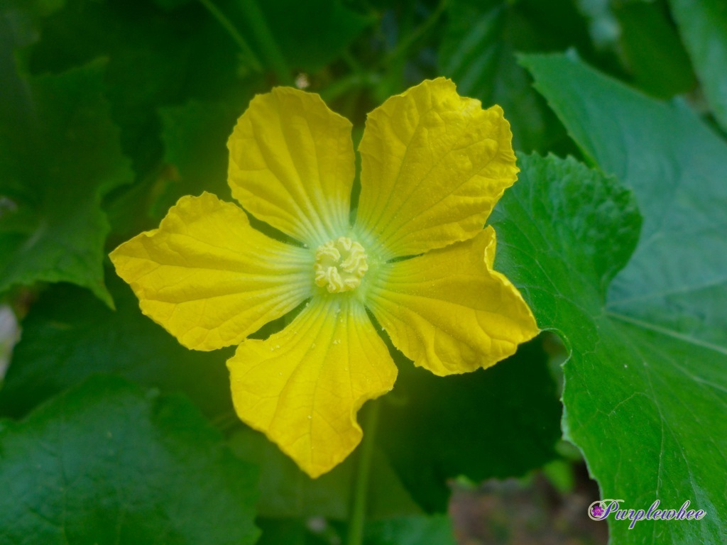 薇薇花園: 冬瓜花