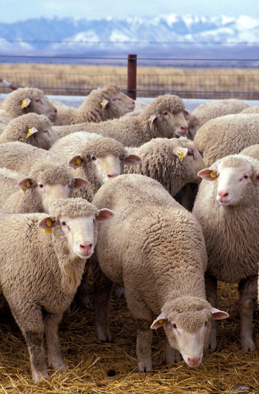 Mammals Animals: Flock of sheep