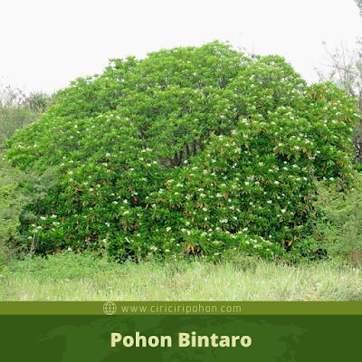 Ciri Ciri Pohon Bintaro