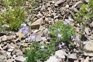 Columbine - official state flower of Colorado