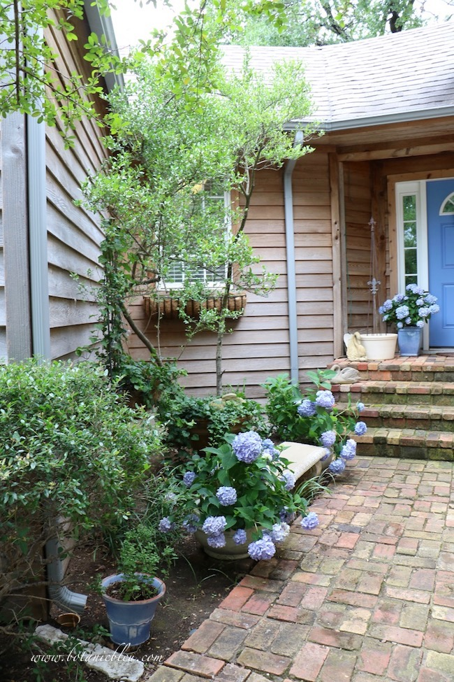 Summer Courtyard Hidden Garden with Blue Hydrangeas lead to antique Chicago brick porch