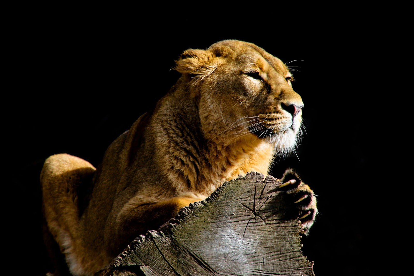 Female Lion in the dark waiting for prey images