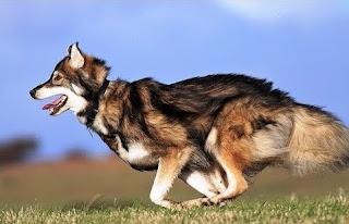 German Shepherd Malamute mix Temperament, Size, Lifespan, Adoption, Price
