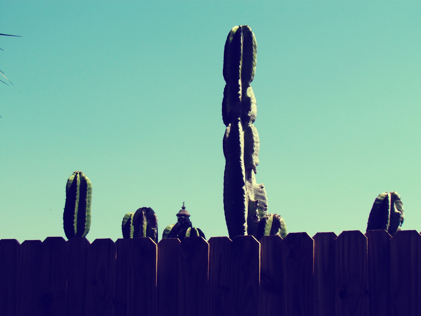 A brown wooden fence with giant saguaro cactus desert plants in backyard