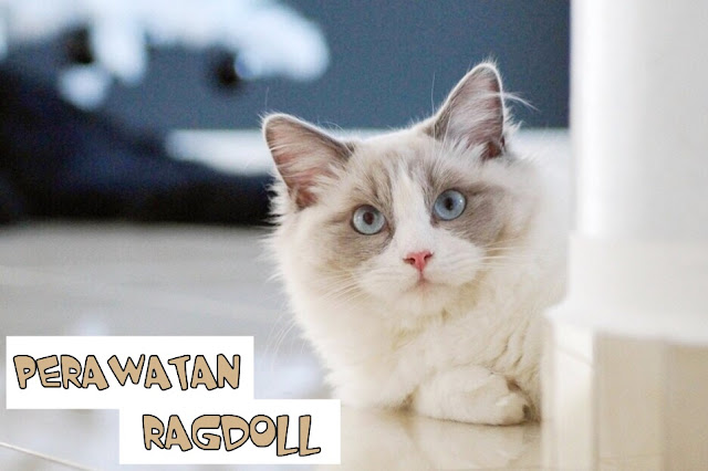 Perawatan Kucing Ragdoll