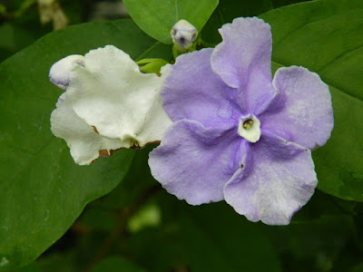 Yesterday Today Tomorrow Brunfelsia pauciflora at the Allan Gardens Conservatory by garden muses-not another Toronto gardening blog