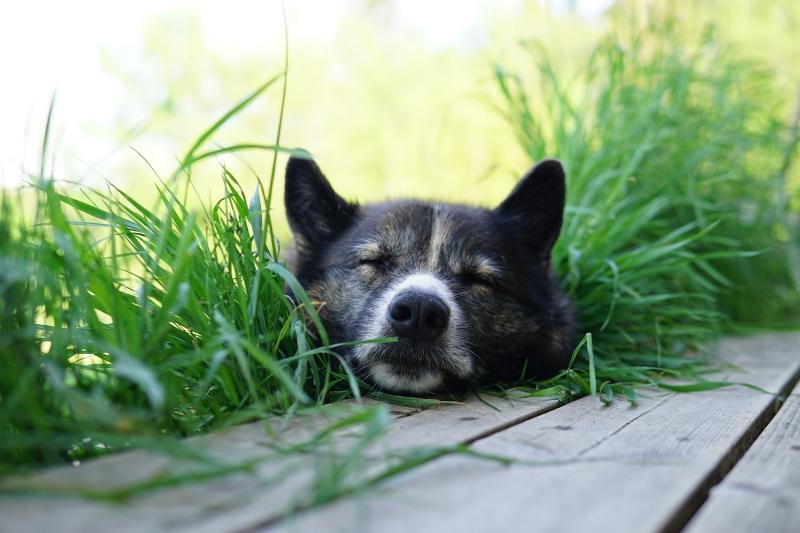 koira, löytökoira, päiväunet