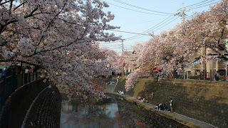 Ooka River Promenade cherry blossom