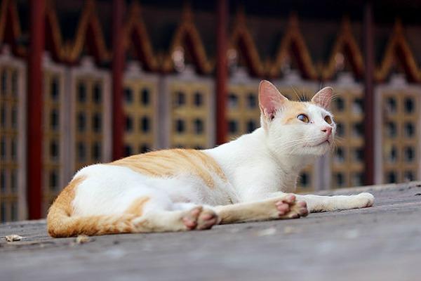 white and ginger cat bangkok