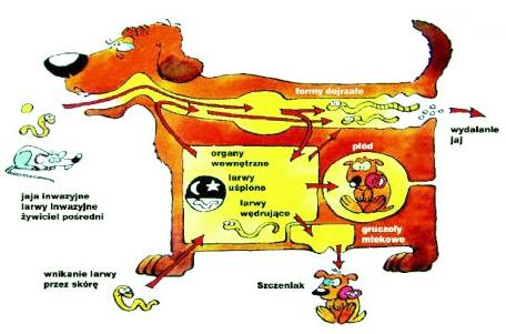 pasożyty kot, odrobaczanie kot, odrobaczanie pies, pasożyty pies