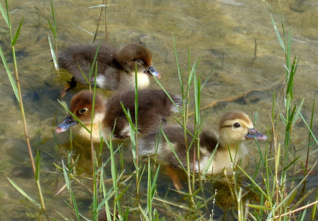 Muscovy chicks foraging
