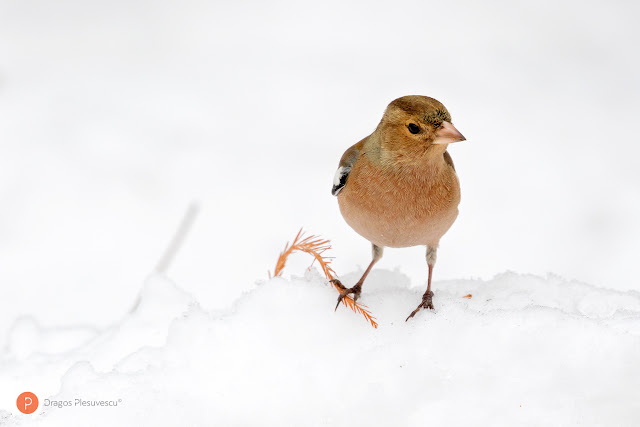 usually known simply as the chaffinch, is a common and widespread small passerine bird in the finch family
