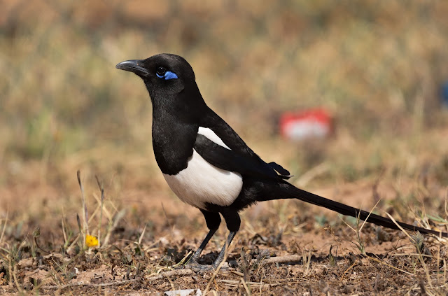 Maghreb Magpie - Morocco