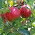 Apple : Nutritional facts and 16 amazing health benefits of apple.