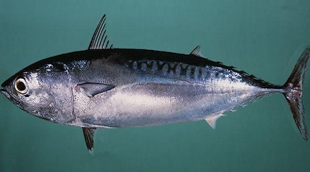 Habitat Ikan Tongkol