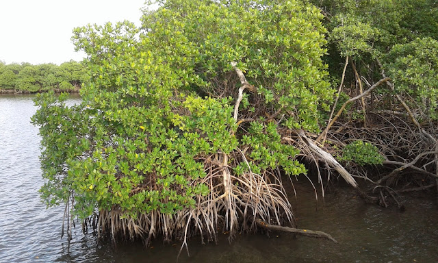 Mangrove forest at Anne Kolb Nature Center, Hollywood, Florida