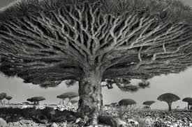 FOTOS: los 12 arboles mas antiguos del mundo.