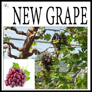 New Grape Varieties