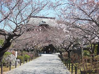 建長寺のソメイヨシノ