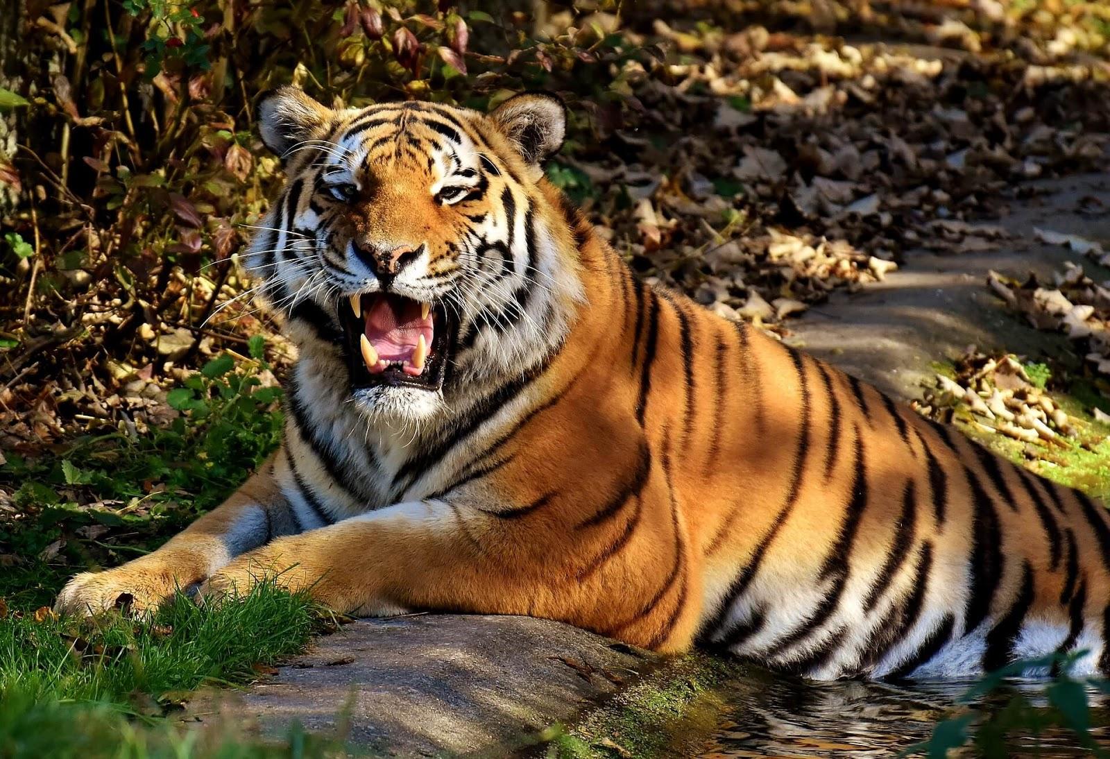beautiful tiger hd wallpaper