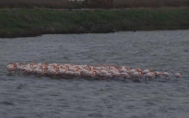 entyposiako-theama-ta-flamingko-tis-mytilinis-syspeironontai-gia-na-antexoyn-to-kryo