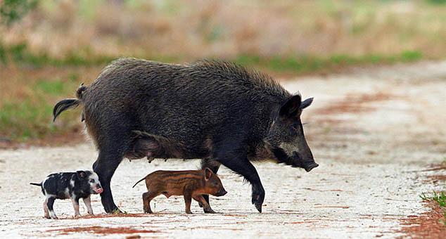 Divlje_svinje #Korminjane #Lov #policija #Srbija #kmnovine