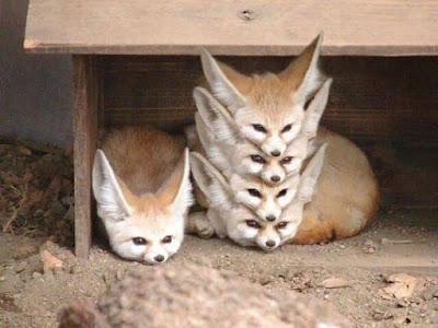 Rubah Fennec (Fennec Fox), Hewan Rubah, Spesies Hewan Rubah, Tentang Hewan Rubah, Memelihara Hewan Rubah,