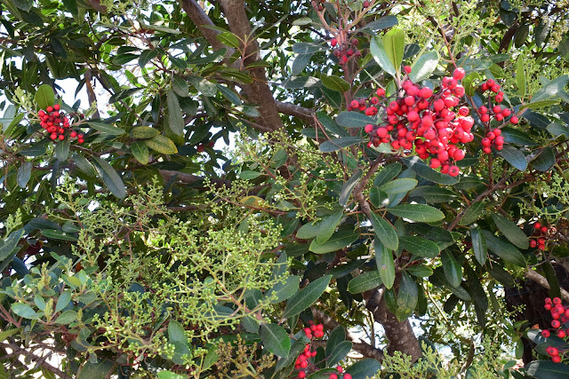 Friends of carmel forest tree tour with dr matt ritter 2016 this evergreen shrub type tree is sometimes called christmas or holly berry because of the red fruit that is present around christmas mightylinksfo