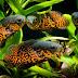 Aneka Makanan Alami Untuk Ikan Oscar Dan Manfaatnya