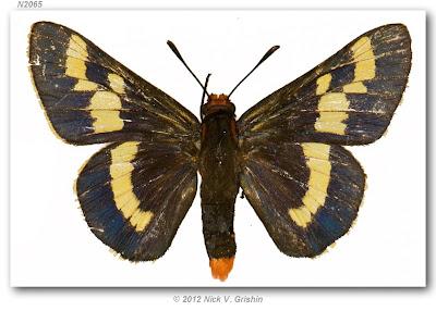 Mariposa pintada del palmar Pseudosarbia phoenicicola
