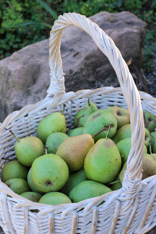 basket with pears, Korb mit Birnen