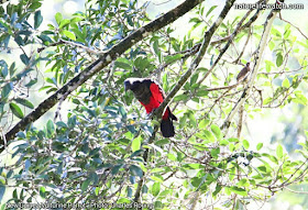New Guinea Vulturine Parrot in Ases valley  Photo by Charles Roring