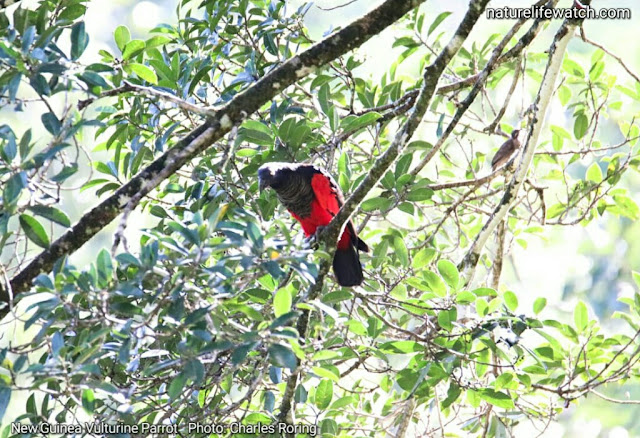 Birding tour in rainforest of Indonesia