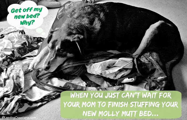 When You Just Can't Wait for Your Mom to Finish Stuffing Your New #MollyMutt #dogbed... #seniordog #rescuedog #happyolddog #LapdogCreations ©LapdogCreations