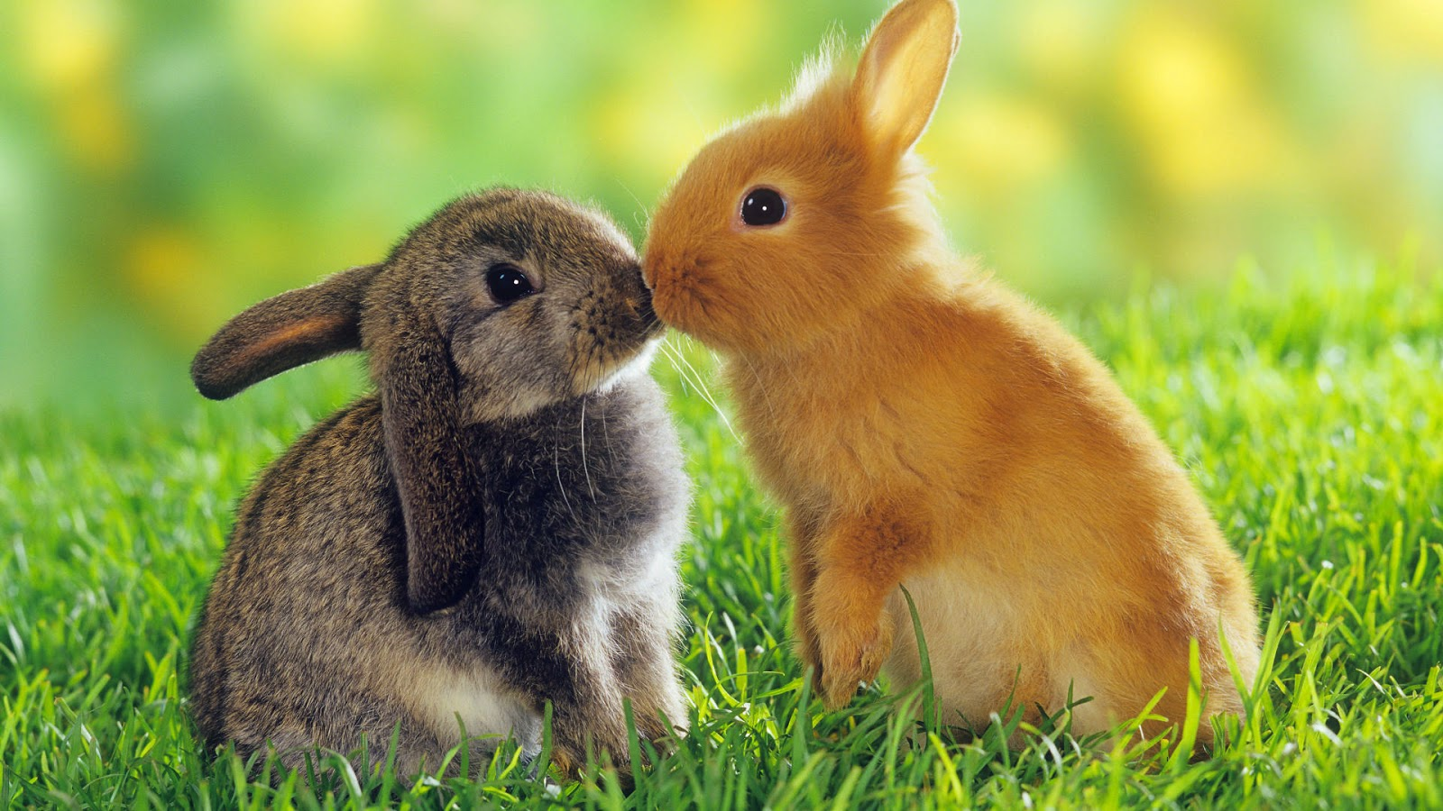 Two Easter Bunnys Kissing 45