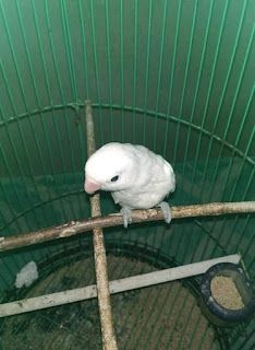 CIRI-CIRI LOVEBIRD JANTAN