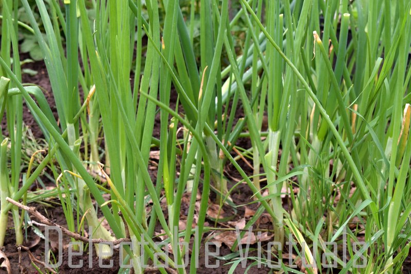 home garden spring onions