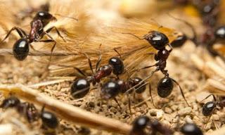 معنى حلم النمل للفتاة العزباء