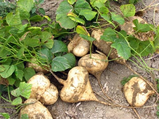 Cách trồng củ đậu & kinh nghiệm trồng củ sắn