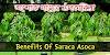 Benefits of Ashoka Tree (Saraca Asoca) - অশোক গাছের উপকারিতা ও বনৌষোধী গুনাগুন